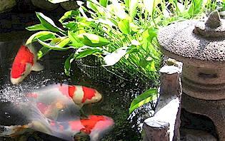 Atrae la Abundancia y Riqueza a través de los Peces Feng Shui