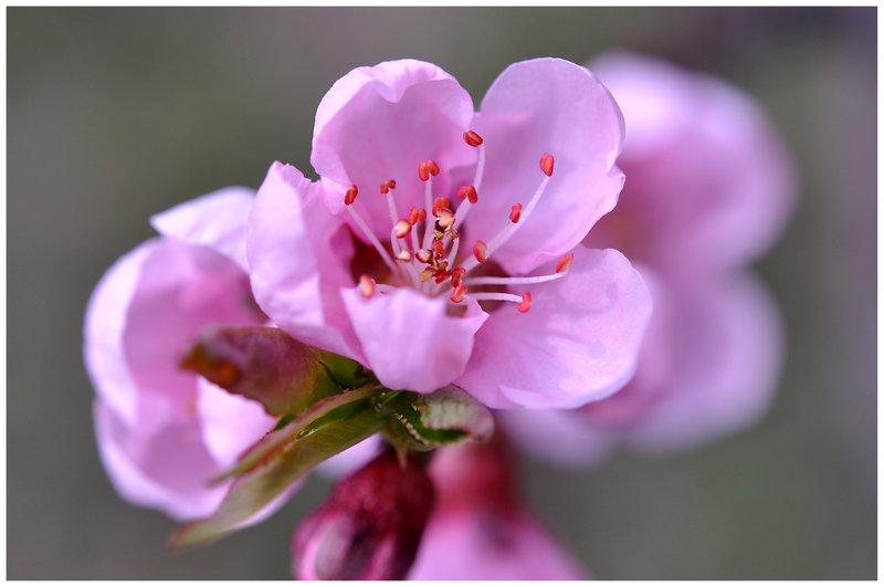 Feng Shui para Encontrar el Amor. La Cura Suerte de Flor  de Durazno